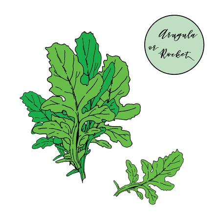 Green fresh leaves of rocket salad in bunch and single leaf. Hand drawn for meny design, packaging, book illustrations Ilustrace