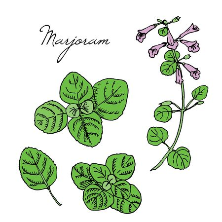 Hand drawn medicinal spicy herbs. Marjoram vector colored ink sketch illustration. Leaves, plant, flowers