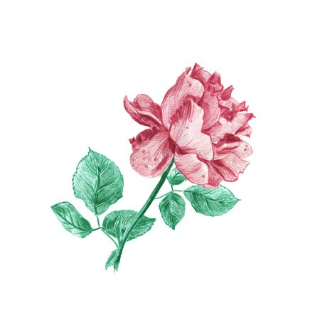 Vintage pink rose hand drawn in pencil illustration isolated on white background. Blooming flower with green leaves.