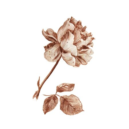 Vintage rose hand drawn in sepia pencil illustration isolated on white background. Blooming flower and leaves isolated on white 스톡 콘텐츠