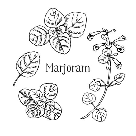 Hand drawn medicinal spicy herbs. Marjoram vector black ink sketch illustration. Leaves, plant, flowers 스톡 콘텐츠
