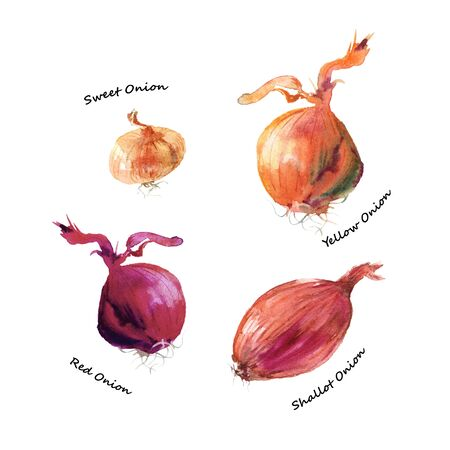 Different types of onion. Shallot, red, yellow and sweet onion vegetables watercolor illustration isolated on white background.