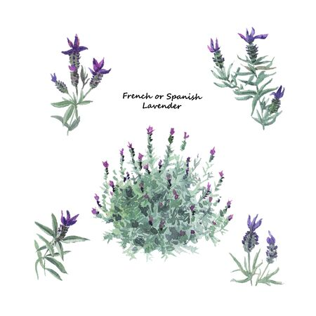 French lavender plant bush and twigs with flowers. Hand drawn watercolor illustration isolated on white background.