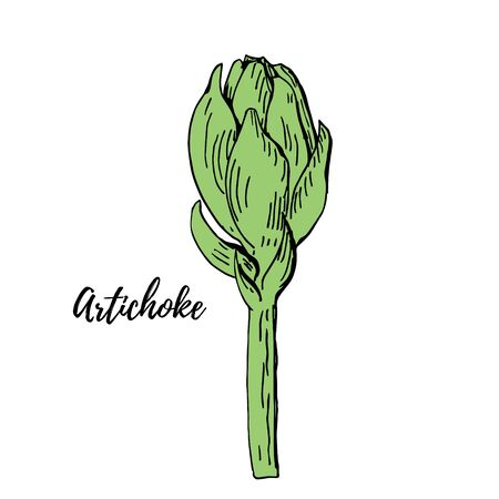Green artichoke hand drawn vector illustration isolated on white. Fresh vegetable objects. Detailed vegetarian food drawing. Farm market product for menu, label, icon