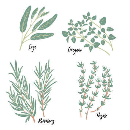 Fresh green culinary and medicinal Mediterranean herbs set isolated on white background. Thyme, sage, rosemary twigs, oregano. Vector food design elements for kitchen, packaging, prints, postcards Ilustracje wektorowe