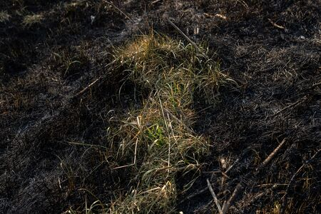 Green and yellow grass among burned grass. Dry and black branches and earth. Front view Stockfoto