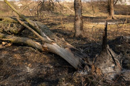 Close up tree after fire. Damage black tree in earth. Stockfoto
