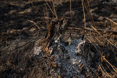 Burned tree stump after a wildfire in forest. White ashes inside stump after fire. Effects of fire in forest. Black and dry grass and branches
