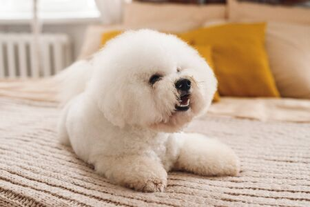 Fluffy little white Bichon Frize look away. White puppy with lying on brown cover