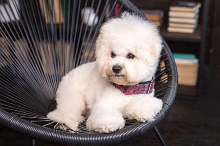 A little fluffy Bichon Frize look away Stock Photo