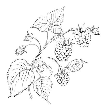 raspberry: raspberry branch with ripe berry  Illustration