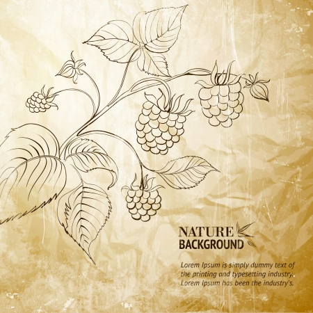 Raspberry branch Vector Illustration