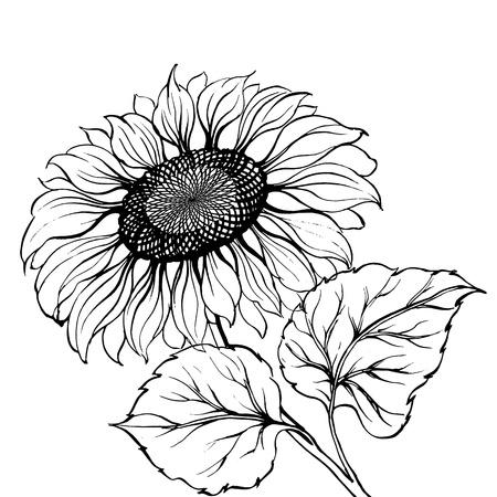 semillas de girasol: Girasol
