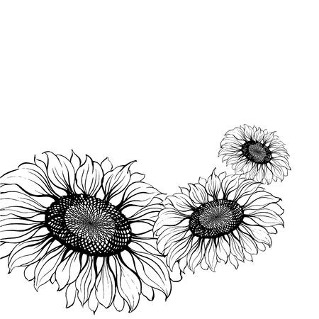 sunflower isolated: Girasole