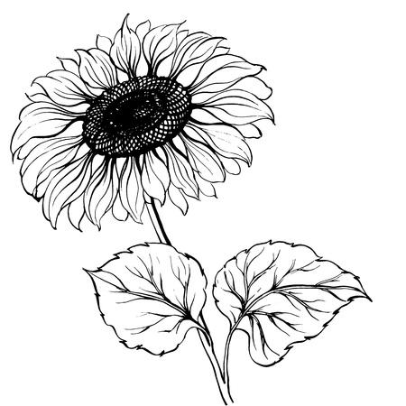 graine tournesol: Tournesol Illustration