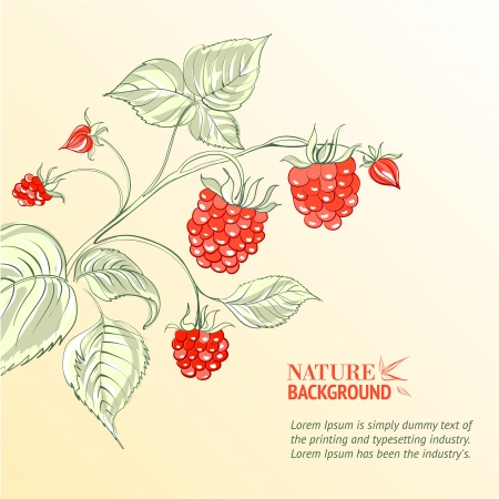 Raspberry, watercolor  Vector illustration, contains transparencies, gradients and effects  Stock Vector - 18823051
