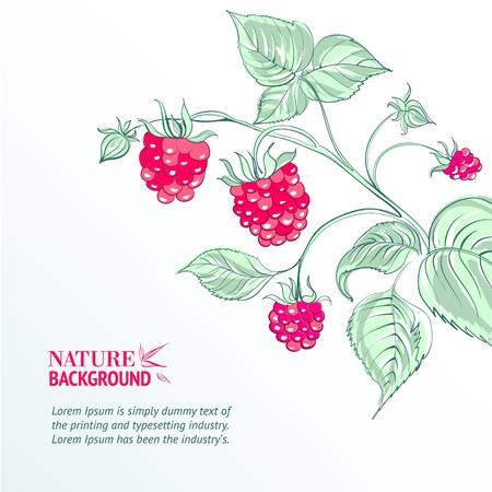 moras: Frambuesa, acuarela ilustraci�n vectorial, contiene transparencias, gradientes y efectos