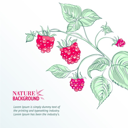 Raspberry, watercolor  Vector illustration, contains transparencies, gradients and effects  Vector