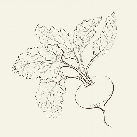 근대의 뿌리: 사탕무의 뿌리는 흰색 벡터 일러스트 레이 션에 고립