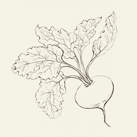betabel: Remolacha aislado en blanco Ilustraci�n vectorial Vectores