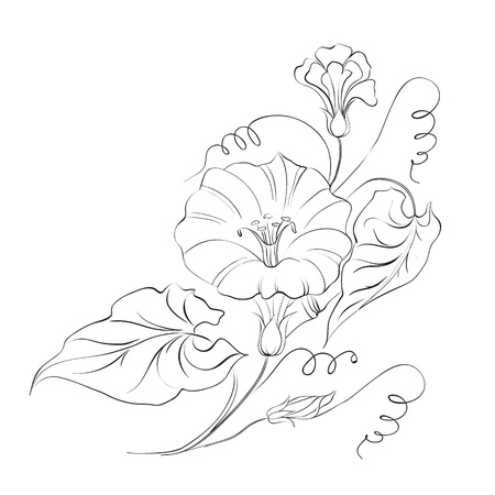 bindweed: Bindweed isolated on white Illustration  Illustration