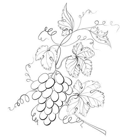 Grapes engraving illustration