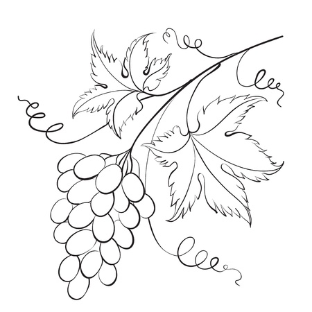 Bunch of grapevine illustration  Vector