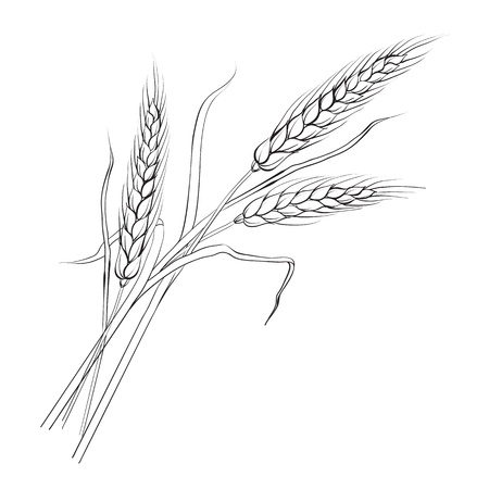 spikes: Ears of wheat  Iloated over white  Vector illustration