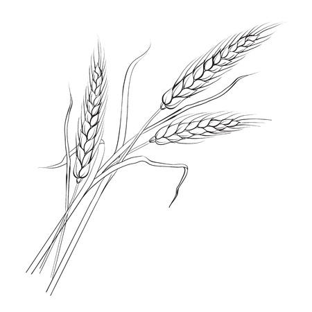 Spighe di grano Iloated su bianco, vettore, illustrazione