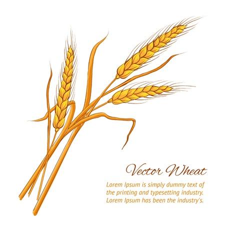 ječmen: Uši pšenice Vektorové ilustrace