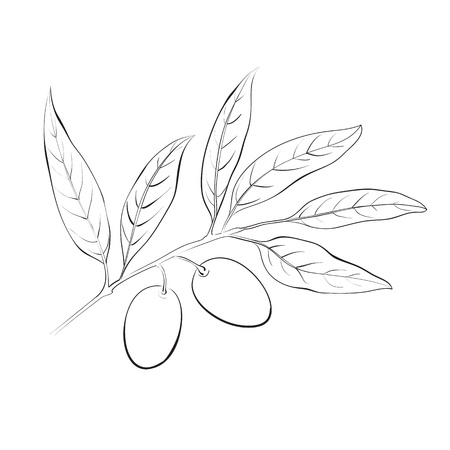 Hand drawn olive branch  Vector illustration Stock Illustration - 20827594