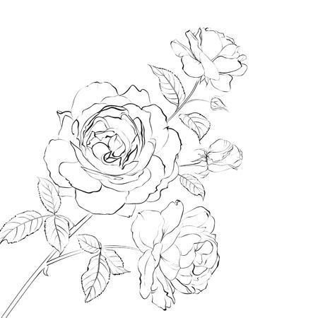 rose blanche: Contour de rose isol� sur blanc. Vector illustration