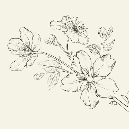 ciliegio in fiore: Calligrafia fiori di ciliegio. Illustrazione vettoriale. Vettoriali