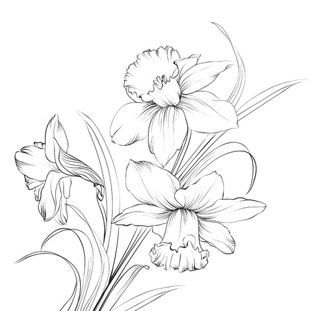 lilies: Daffodil flower or narcissus isolated on white.  illustration.