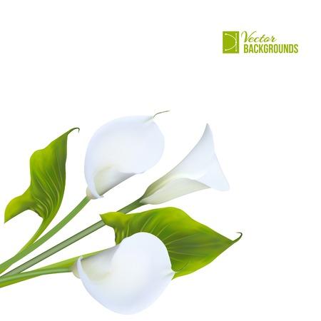 Calla lily. Vector illustration.