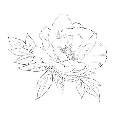Ink Painting of Peony isolated on white. Vector illustration. Ilustração