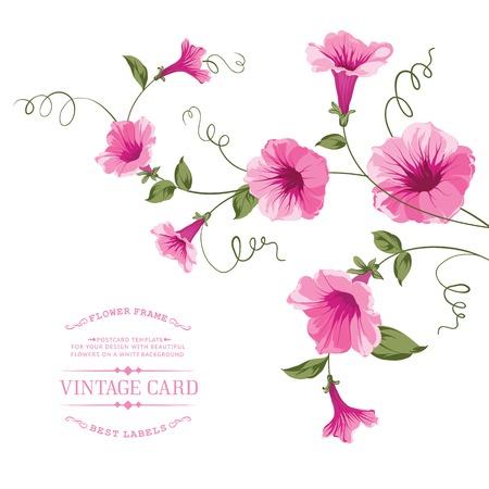 convolvulus: Bindweed flower for vintage card design. Vector illustration.