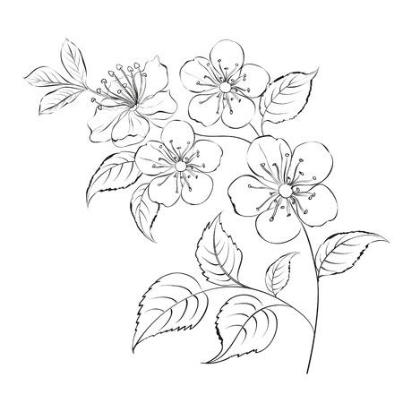 cherries: Spring cherry blossom sakura isolated over white. Vector illustration.