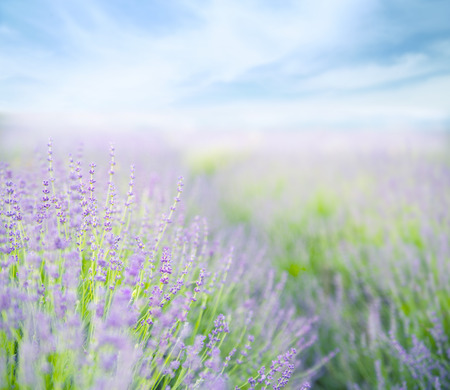 papilionidae: Lavender flower field, fresh purple aromatic flowers for natural background.