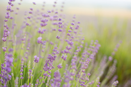 Lavender flower field, close-up for natural background. photo