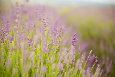 Lavender flower field, fresh purple aromatic flowers for natural background. photo