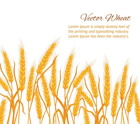 Ears of wheat on white background. Vector illustration. Vector