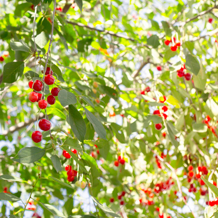 early summer: Red cherries on the branch before harvest in early summer.