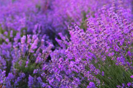 lavendin: Flowers in the lavender fields in the Crimean mountains.