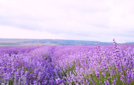 lavender bushes: Flower field and blue sky with clouds. Stock Photo