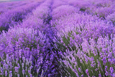Flowers in the lavender fields in the Crimean mountains.