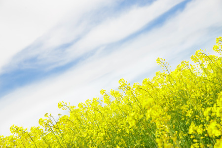rappi: Yellow field rapeseed in bloom with blue sky and white clouds