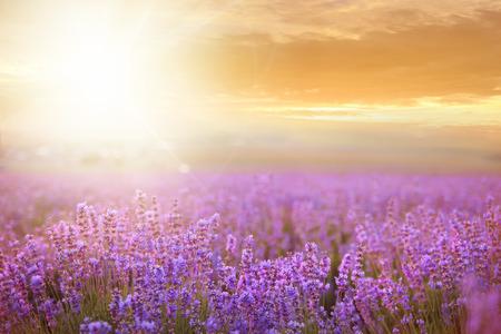 Coucher de soleil sur un champ de lavande en été, ressemble en Provence, France Banque d'images - 29584171