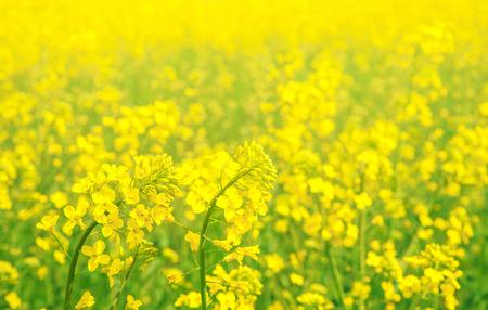 rappi: Brassica napus or rapeseed, rape grass field close-up