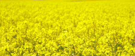 herbe ciel: champ de colza frais fleurs jaunes Ciel ensoleill� fond d'herbe de printemps